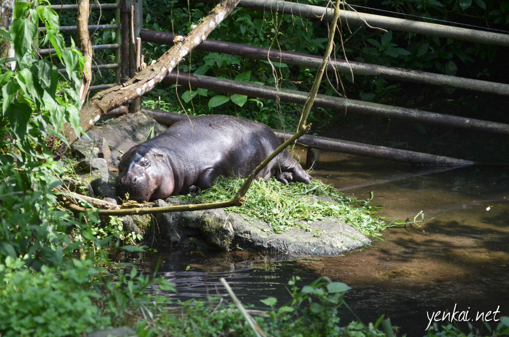 Baby Hippo. One word - cute!
