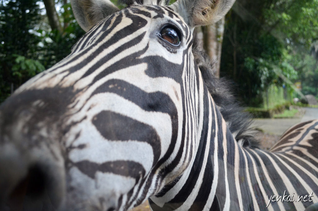 Zebras after the carrots which you can buy from street side vendors on your way into the Safari