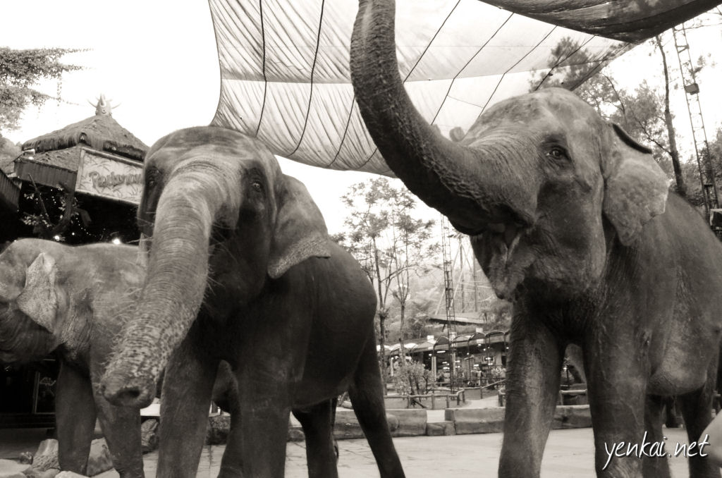 Probably for a cruel reason, these unconfined elephants don't step out of their designated space