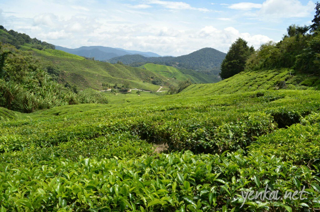Tea shrubs covering the hills as far as the eyes can see
