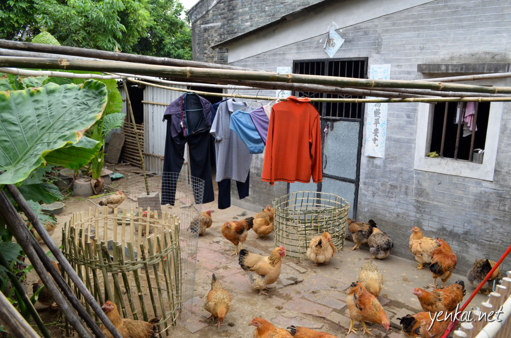 That's probably enough chicken for two month's supply